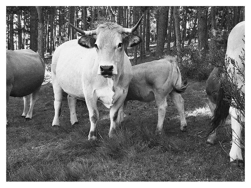 Vache de L'Aubrac et son veau