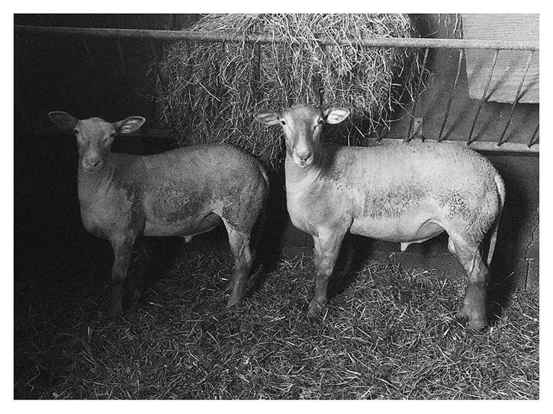 Deux agneaux du Pays, à l'étable