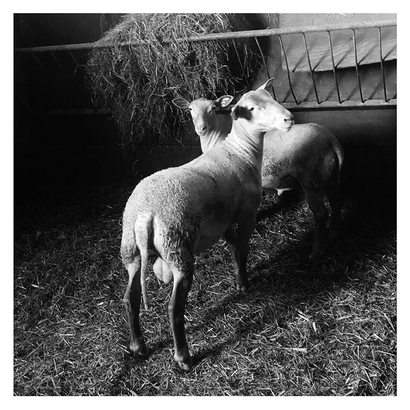 Deux agneaux Sélection du berger
