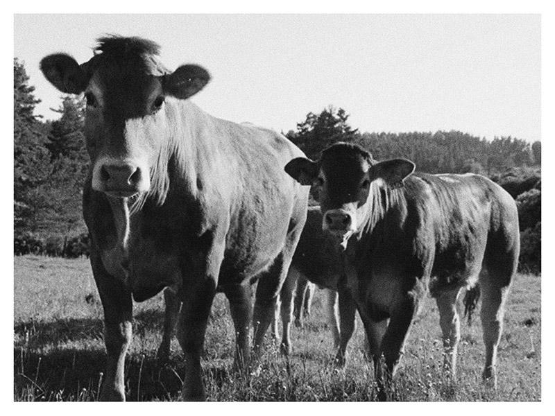 Vache Limousine et son veau
