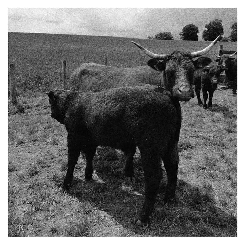Vache de race Salers et son veau