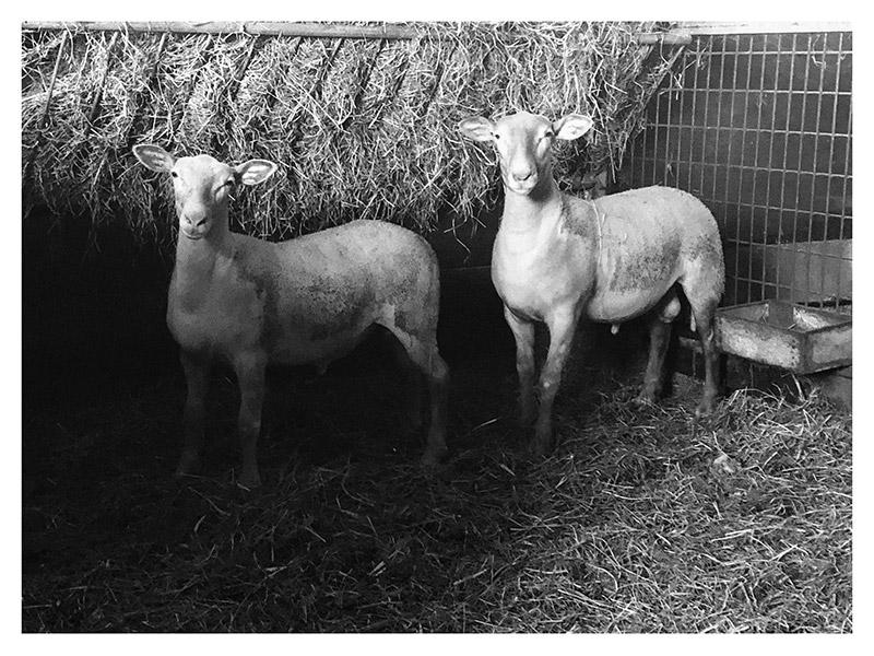 Deux agneaux petit Pyrénéen, à l'étable